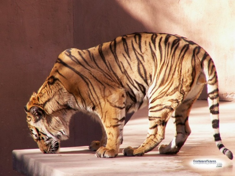 project tiger in india essay Project tiger was started in 1973-74 by the government of india read on to know more about indian project tiger.