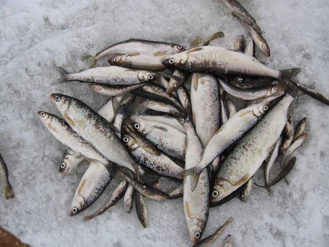 прикормка на сига на море